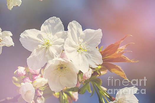 Cherry blossom in sunlight by Jane Rix