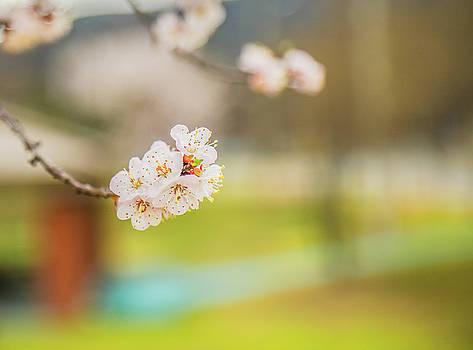 cherry blossom IV by Hyuntae Kim