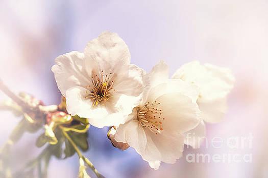 Cherry blossom by Jane Rix