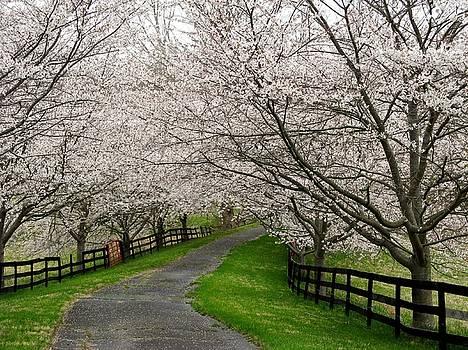 Cherry Blossom Lane by Joyce Kimble Smith