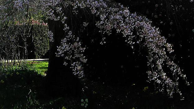 Cherry Blossom by Maria Joy