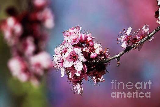 Cherry Blossom by Naomi Burgess