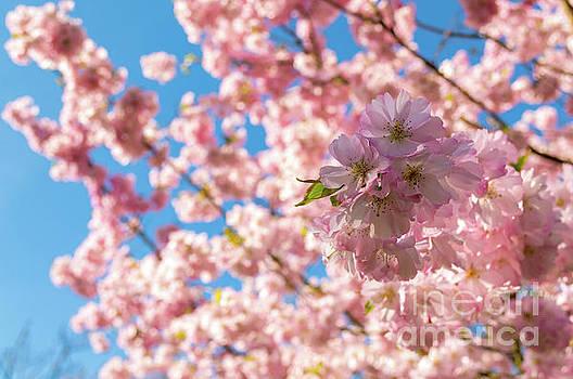 Cherry Blossom by Sinisa CIGLENECKI