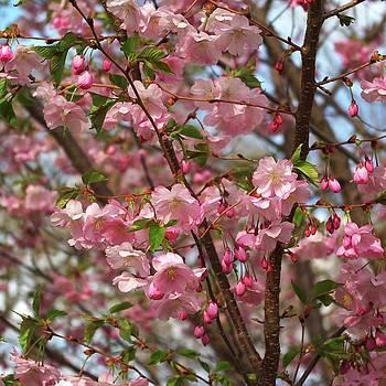 Cherry blossom spring by R V James