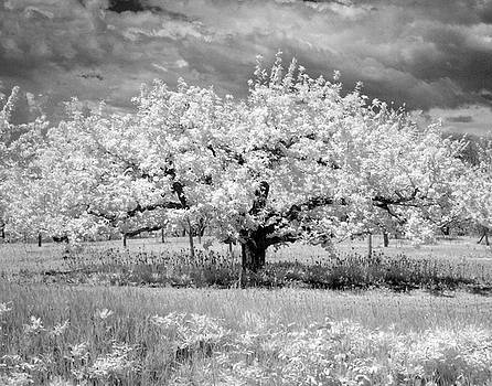 Cherry Blossom  by Stephen Mack