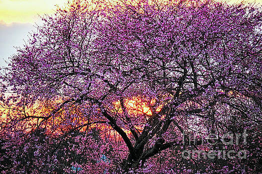 Cherry Blossom Sunset by George Oze