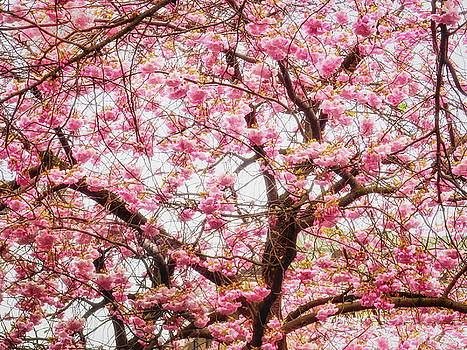 Cherry Blossom Time by Robin Zygelman