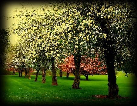 Cherry Blossom Trees by Angie Tirado