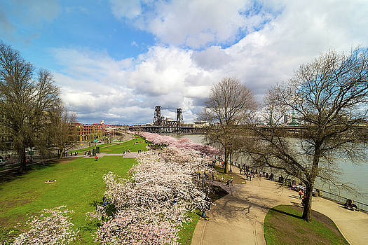 Cherry Blossom Trees at Portland Waterfront by David Gn