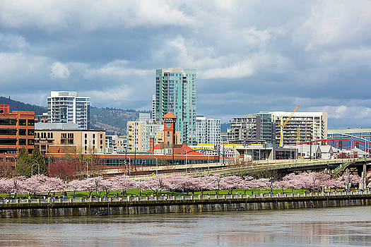 Cherry Blossom Trees at Portland Waterfront Park by David Gn