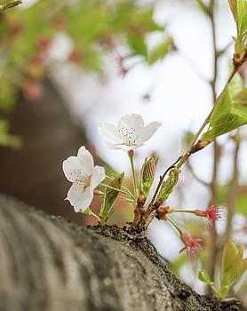cherry blossom VI by Hyuntae Kim