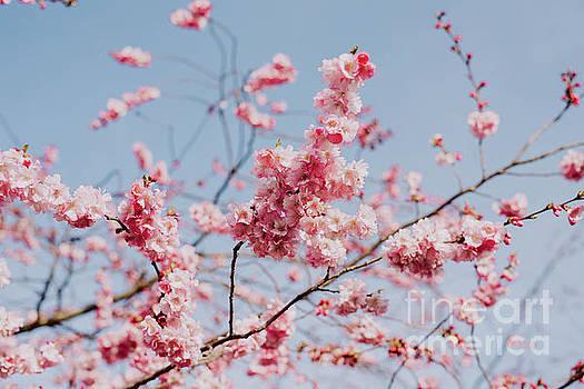 Cherry blossom by Viktor Pravdica