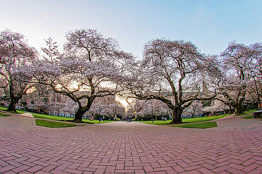 Cherry Blossoms at The University of Washington by Matt McDonald