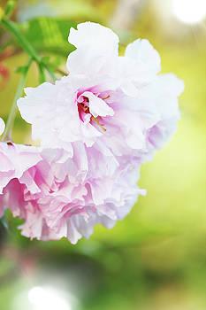 cherry blossoms by Iuliia Malivanchuk by Iuliia Malivanchuk