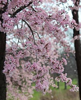 Rosanne Jordan - Cherry Blossoms Cascade