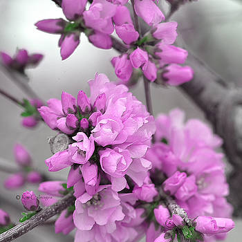 Cherry Blossoms Frosted by Kae Cheatham