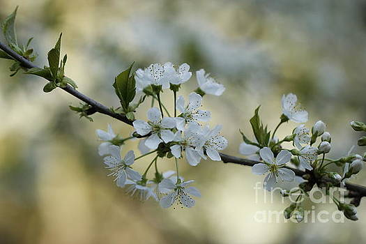 Cherry Blossoms by Geraldine Jane Ramos-Bittenbinder