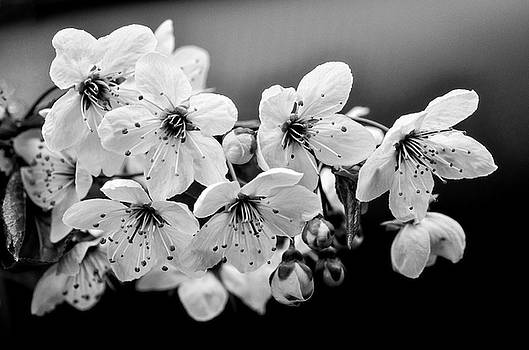 Cherry Blossoms II by Rod Sterling