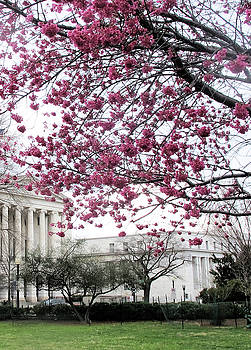 Cherry Blossoms in DC by Ruth Jolly