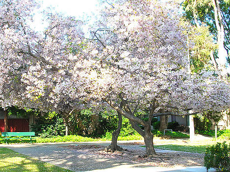 Cherry Blossoms in Santa Clara by Carolyn Donnell