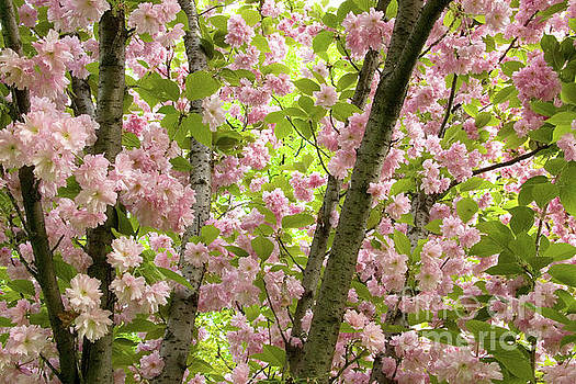 Cherry Blossoms in Spring, Milan, Italy by Julia Hiebaum
