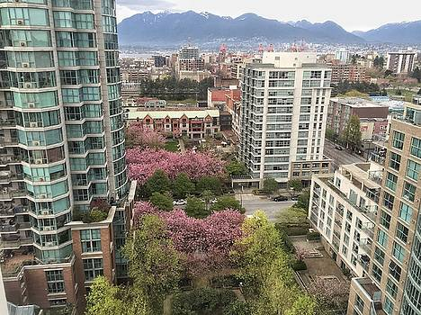 Cherry Blossoms in Vancouver by Steffani Cameron