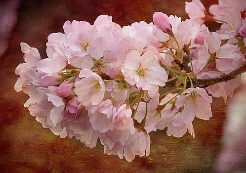 Cherry Blossoms by Jack Nevitt
