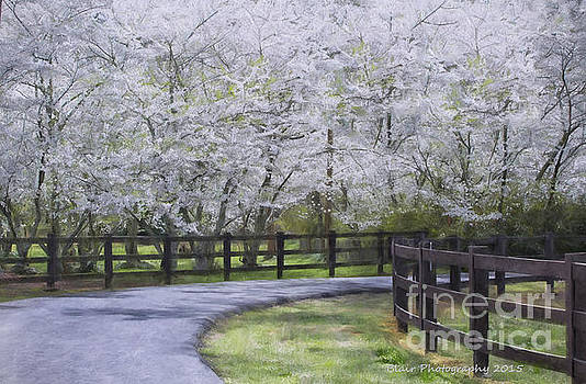 Cherry Blossoms by Linda Blair