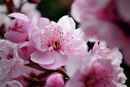Cherry Blossoms  by Robin White