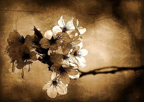 Cherry Blossoms by Scott Fracasso