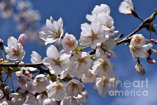 Cherry Blossoms by Sharon Patterson
