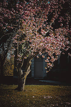 Cherry Blossums by Johnathan Erickson