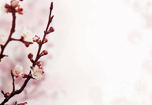 Cherry bossom by Jelena Jovanovic