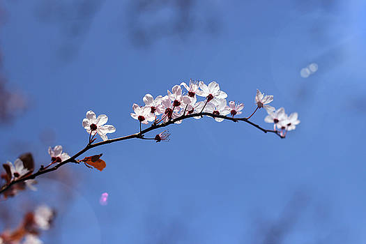 Cherry flowers with lens flare by Helga Novelli