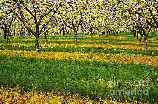 Cherry Orchard Lines by Randy Pollard
