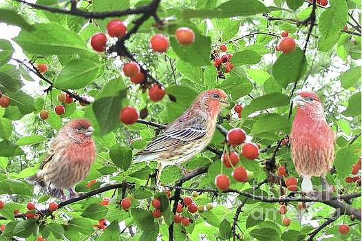 Cherry Picking Time by Janette Boyd