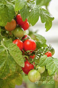 Sophie McAulay - Cherry tomatoes on vine