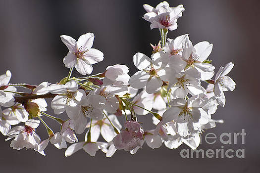Cherry Tree Blossoms by Sylvia Blaauw