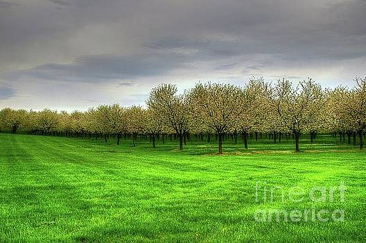 Cherry Trees Forever by Randy Pollard