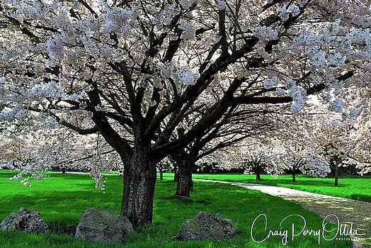 Cherry trees in Spring by Craig Perry-Ollila