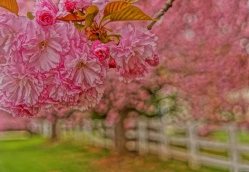 Cherry trees by Julie Grandfield