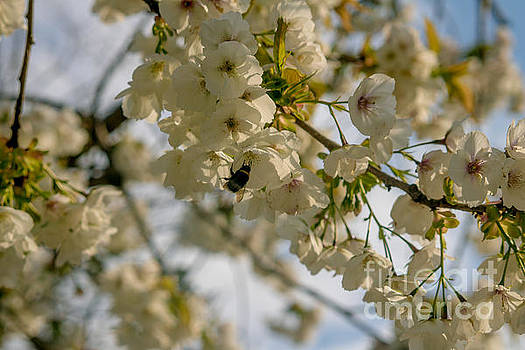 Marc Daly - Cherryblossom flowers 5