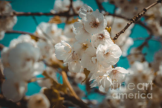 Marc Daly - Cherryblossom flowers 6