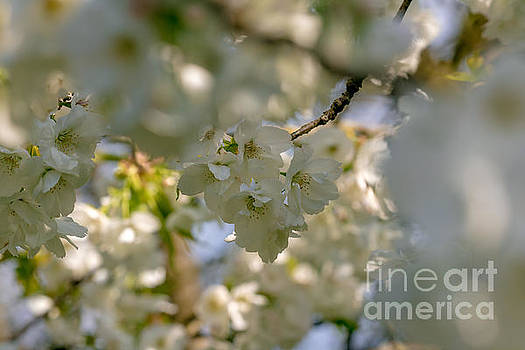 Marc Daly - Cherryblossom in focus