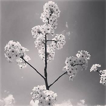 #cherryblossoms #blackandwhite #flower by Sharon Halteman