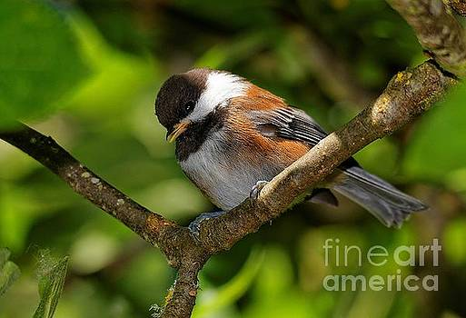 Chestnut-Backed Chickadee in the Apple Tree by Hui Sim