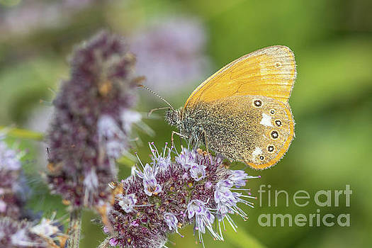 Chestnut Heath - Coenonympha glycerion by Jivko Nakev