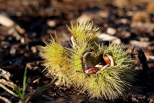 Chestnut by Helga Novelli