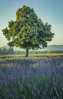 Chestnut in Lavender by Don Schwartz