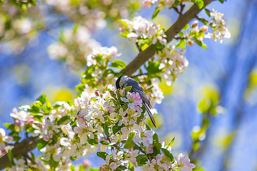 cHICADEE IN A TREE by David Tennis